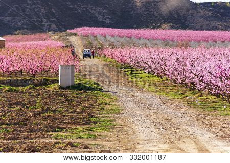 View Of A Farmer Between Pink Peach Trees In Bloom. White And Pink Delicate Flowers. Pink And Fresh