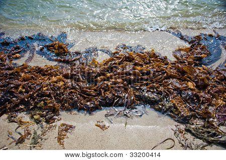 seaweed on the sandy shore