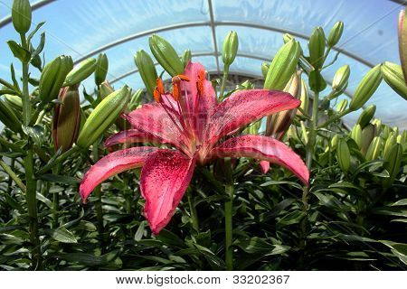 Blooming Lilly in Greenhouse