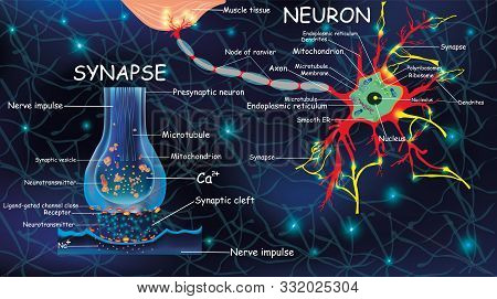 Anatomy Neyron And Synapse. Signaling In The Brain. Cells Neyron And Synapse With Descriptions. Stru