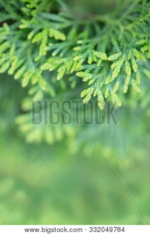 Leaves of Japanese cypress ( Chamaecyparis obtusa, ) also know as hinoki cypress.