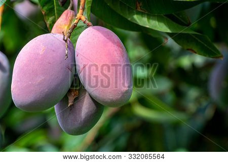 Cultivation Of Exotic Sweet Fruit Mango In Subtropical Malaga-granada Tropical Coast Region, Andalus