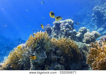Colorful Tropical Fish In The Ocean. Raccoon Butterflyfish. Beauty Stripped Saltwater Fish In The Se
