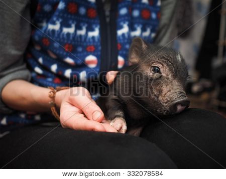Mini Pig Is A Pet. Little Pig Sleeping In The Arms Of The Mistress In The House