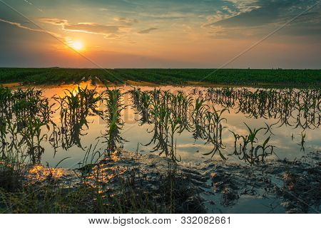 Flooded Young Corn Field Plantation With Damaged Crops In Sunset After Severe Rainy Season That Will