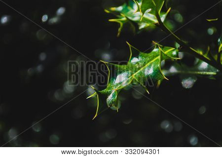 Deep Green Pointy Holly Leaves Over Blurred Background In A Forest Near Pamplona, Spain