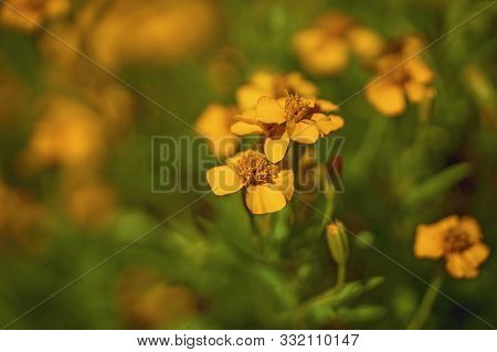 Flowers Of The Tarragon Herb Growing Profusely In A Home Garden. Captured With Shallow Depth Of Fiel