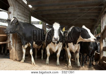 Cows At Dairy Farm