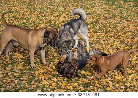 Siberian Husky, Bullmastiff, Amstaff And Multibred Dog Are Playing In The Autumn Park.