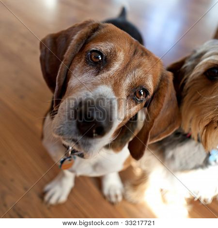 Beagle Head Tilt