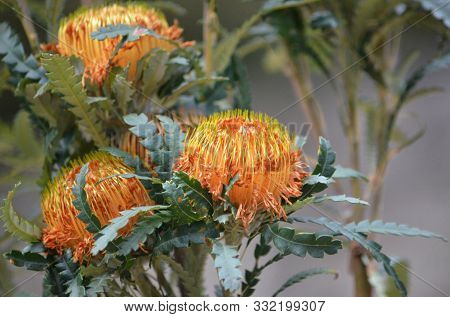 Australian Native Showy Dryandra Flowers, Banksia Formosa, Family Proteaceae. Endemic To South West