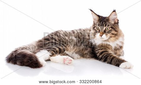 Maine Coon. A Big Cat. Maine Coon