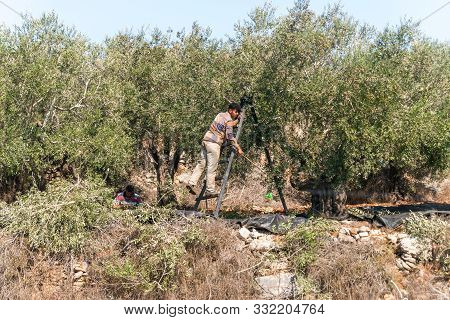 Rosh Haayin, Israel, October 31, 2019 : The Traditional Harvest Of Olives. A Young Man - An Arab Sti