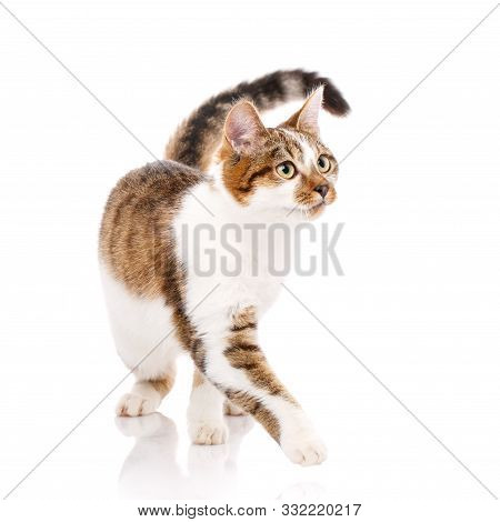 Cat Is Isolated On White. Cat Poster.