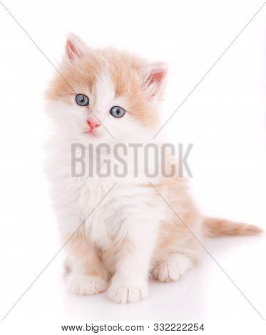 Beautiful Cat Isolated. Small Kitten On White.