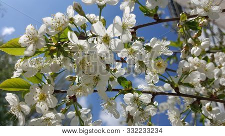 The Apple Tree Blooms. Apple Blossoms Close-up. Flowering Tree. Beautiful White Apple Blossoms And G