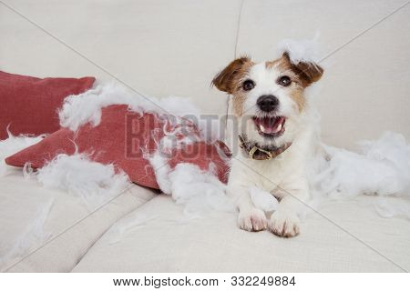 Funny Dog Mischief. Naughty Jack Russell Home Alone After Bite And Destroy A Pillow On A Sofa. Separ