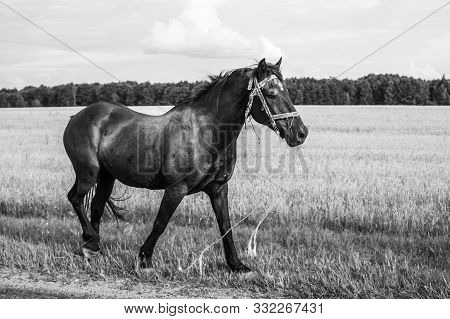 A Lone Horse Walks On The Road. Runaway Horse In The Countryside. Black And White