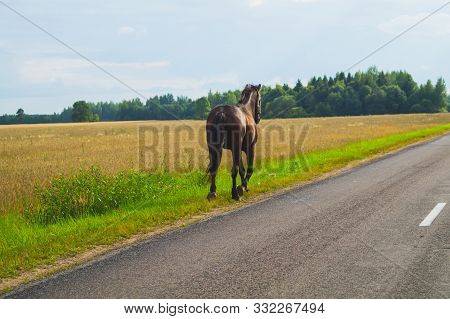 A Lone Brown Horse Walks Along The Road. Runaway Horse In The Countryside
