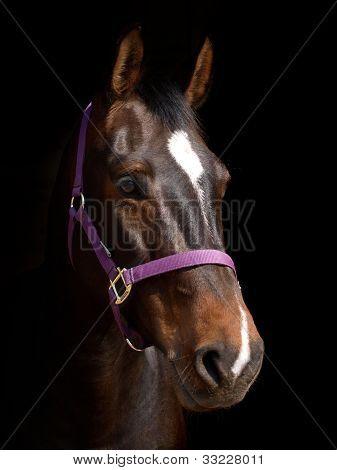 Bay Horse Against Black Background