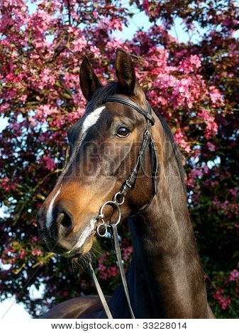 Bay Horse Head Shot In Bridle