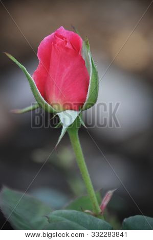 Single Long Stem Red Rose Isolated Macro Closeup With Blurred Background. Card Or Post Card For Vale