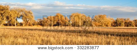 panorama of cottonwood trees and meadow in late fall scenery along the Poudre River Trail in northern Colorado