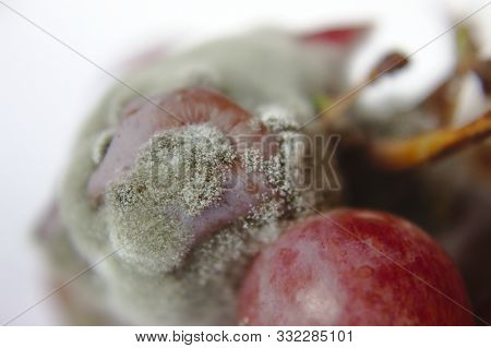 Close-up Of Moldy Red Seedless Grapes On White Background.