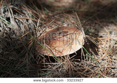 Saffron Milk Cap Mushroom. State Forest Near Oberon. Nsw. Australia.