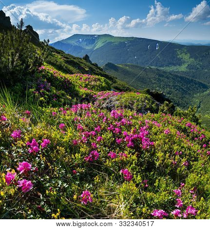 Pink Rose Rhododendron Flowers (close-up) On Summer Mountain Slope. Carpathian, Chornohora, Ukraine.