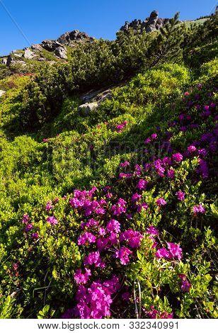Pink Rose Rhododendron Flowers On Summer Mountain Slope. Carpathian, Chornohora,  Ukraine.