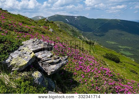 Summer Blossoming Slopes (rhododendron Flowers) Of Carpathian Mountains, Chornohora, Ukraine.