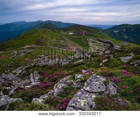 Pink Rose Rhododendron Flowers On Summer Evening Mountain Ridge, Carpathian, Chornohora, Ukraine.