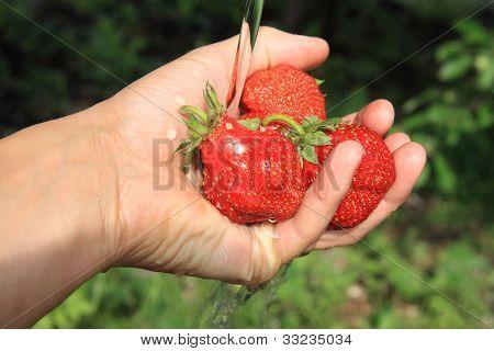 Wash Strawberries