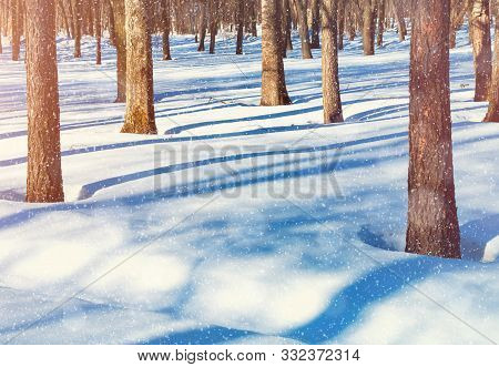 Winter Christmas sunset landscape with forest trees and white snowdrifts on the foreground. Colorful Christmas winter forest in sunset light