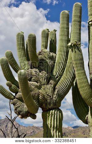 Saguaro Cactus In The Sonoran Desert In Saguaro National Park In Tuscon, Arizona, Usa