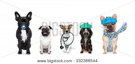 Row Or Group Of Dogs As A Medical Veterinary Doctor Or Sick And Ill With Flu And Stethoscope ,isolat
