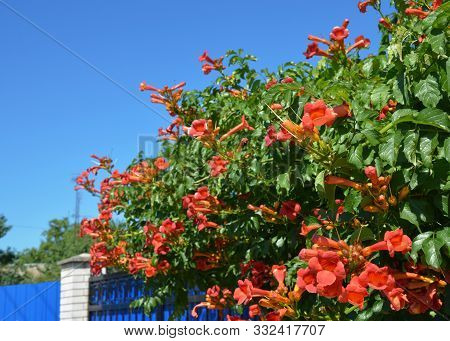 Trumpet Vine Flowers On House Fence. Campsis Radicans, Trumpet Vine Or Trumpet Creeper, Also Known A