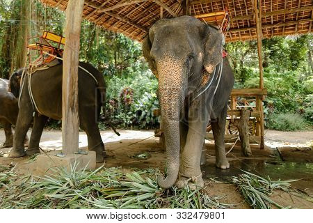 Tamed Large Elephants With Saddle Standing At Zoo.