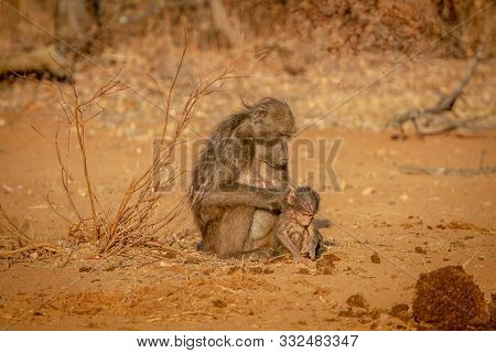 Chacma Baboon Mother And Baby Sitting In The Grass In The Welgevonden Game Reserve, South Africa.