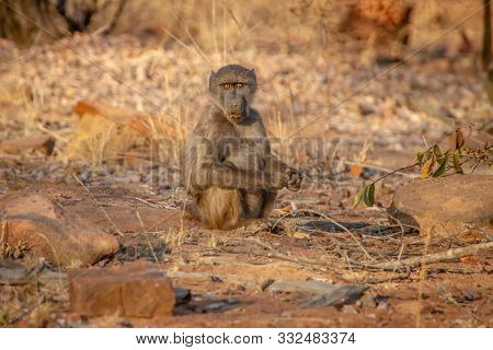 Young Chacma Baboon Sitting And Looking Around.