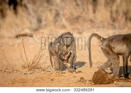 Chacma Baboon With A Baby Walking Towards The Camera In The Welgevonden Game Reserve, South Africa.