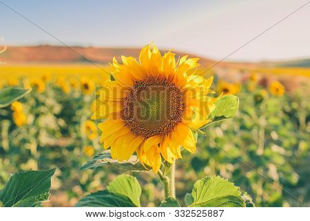 Sunflower Natural Background. Closeup View Of Sunflowers In Bloom. Sunflower Texture And Background