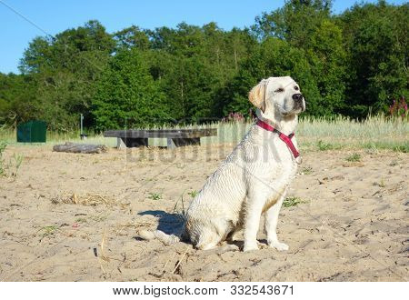 Happy Labradors Day Out At The Beach During Hot Summer