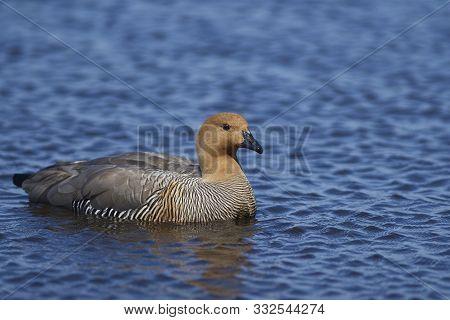 Upland Goose (chloephaga Picta Leucoptera) On A Fresh Water Pond On Bleaker Island In The Falkland I