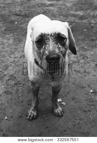 Creepy Labarador Covered With Mud During Holiday