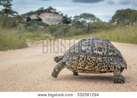 Leopard Tortoise Crossing Safari Gravel Road In Kruger National Park, South Africa ; Specie Stigmoch