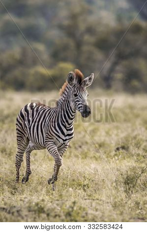 Young Plains Zebra Running In Front View In Kruger National Park, South Africa ; Specie Equus Quagga