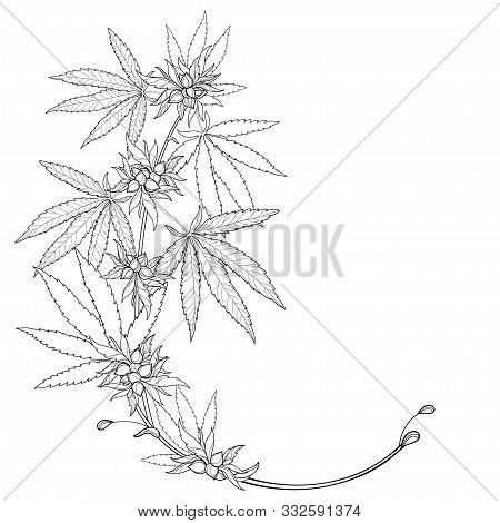 Vector Outline Cannabis Sativa Or Cannabis Indica Or Marijuana Bunch. Corner Branch, Leaf And Seed I