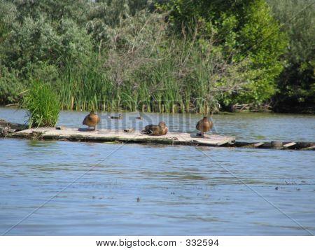 Birds  In Danube